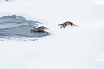 A pair of North American river otters (Lontra canadiensis)(formely Lutra canadiensis) on the frozen river edge. Upper Yellowstone River, Hayden Valley, Yellowstone, USA. February