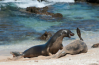 Hawaiian monk seals, Neomonachus schauinslandi, Critically Endangered endemic species, a 7-year-old male (RI11) challenges a 5 year old male (R036), at right, at Beach 4 on west end of Molokai (two female seals are resting nearby), USA, Pacific Ocean