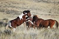 Wild Horses Fighting, McCullough Peaks Range, Cody, Wyoming