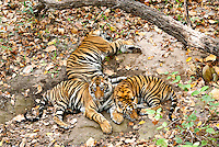 Vanvehi female of Zone 1, Tala zone,  in Bandhavgarh National Park has three one year old cubs.  Here the cubs enjoy the shaded canopy of the jungle in this dry river bed.
