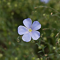 Blue flowers of Austrian flax (Linum austriacum), mid June.