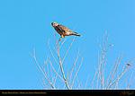 Prairie Merlin Female, Bosque del Apache Wildlife Refuge, New Mexico
