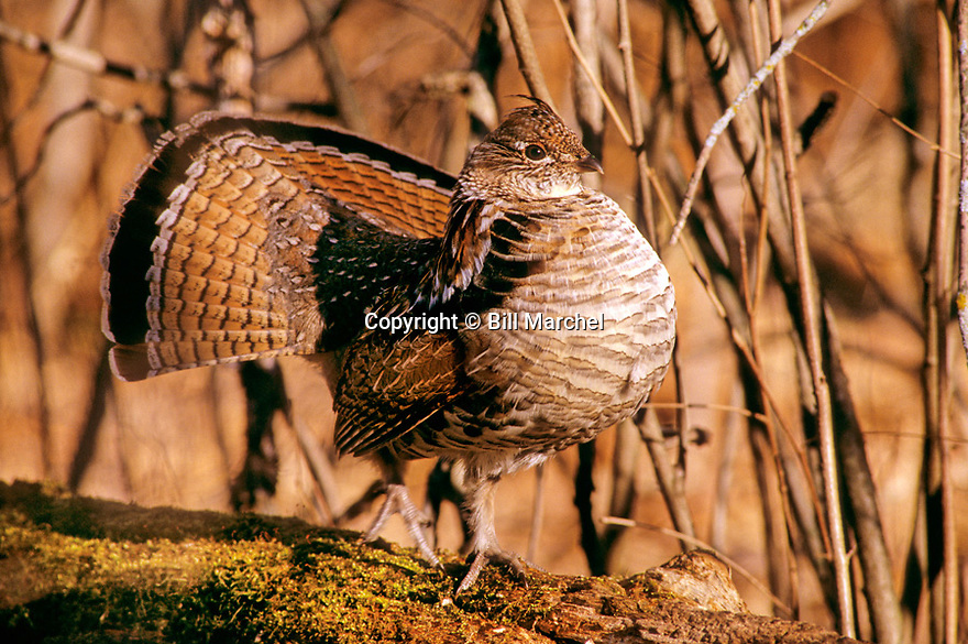 00515-036.08 Ruffed Grouse is in half-strut while on drumming log.