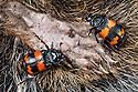 Burying Beetles {Nicrophorus investigator} on dead squirrel. Peak District National Park, Derbyshire, UK. September.