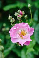 Rosa 'Blush Rambler'