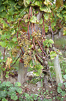 Semillon grapes with noble rot on a wine very full with bunches   at harvest time  Chateau d'Yquem, Sauternes, Bordeaux, Aquitaine, Gironde, France, Europe