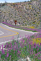 Lupine lined road S-2 in Anza Borrego Desert State Park, California