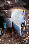 Silver angelfish swimming left