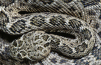 Western Diamondback Rattlesnake, Crotalus atrox, adult, Sinton, Texas, USA, May 2005