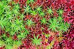 Hair-capped moss (Polytrichum sp.) growing in sphagnum. Caledonian pine forest, Glen Strathfarrar, Scottish Highlands. Scotland. October.