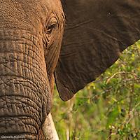 Africa, Uganda , Queen Elisabeth park,elephant (Loxodonta africana)