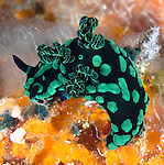 Green & Black Nudibranch grazing on reef in Sulawesi Indonesia. Riot of color on top of orange sponge.