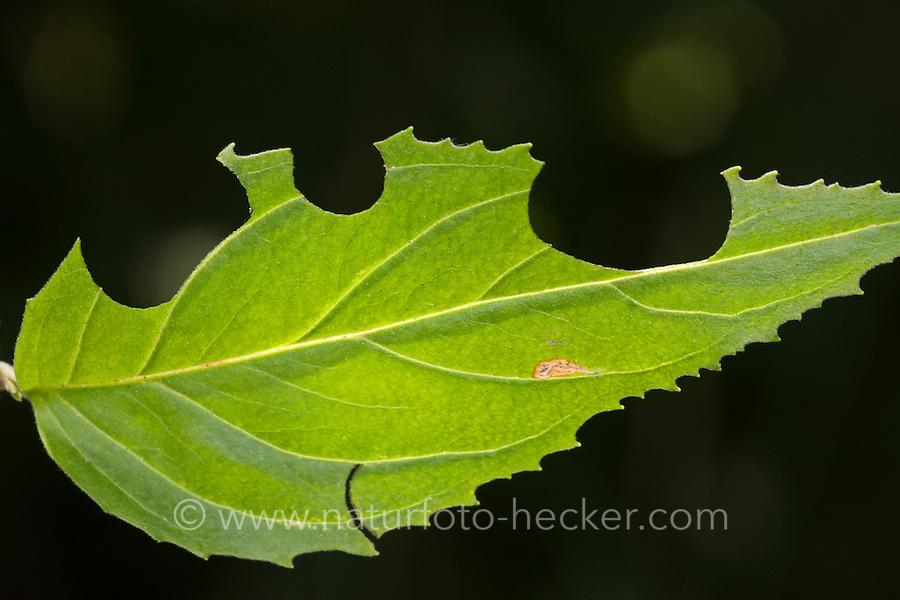 Weidenröschen-Blattschneiderbiene, aus dem Blatt eines Weidenröschens wurden von der Biene Blattstücke herausgeschnitten, Blattschneiderbiene, Blattschneider-Biene, Megachile lapponica, leafcutter bee, Blattschneiderbienen, leafcutter bees