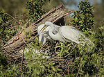 Great Egrets at nest, with 3 blue eggs