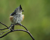 Black-crested Titmouse, after the blow dry ;)