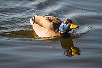 With water streaming from his mouth, a male Mallard paddles in the pond at a neighborhood park on an autumn afternoon.