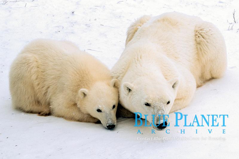 Polar bears, mother and cub, Ursus maritimus, Churchill, Manitoba, Canada, Arctic, polar bear, Ursus maritimus