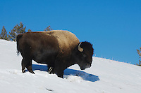 American Bison, Buffalo (Bison bison), adult in snow, Yellowstone National Park, Wyoming, USA