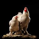 05/05/08 - LAMOTTE BEUVRON - LOIR ET CHER - FRANCE - Elevage avicole de Pascal BOVE. Coq et poule Brahma gris perle maille argente - Photo Jerome CHABANNE
