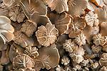 Honey Mushroom, Armillaria mellea, Acorn Ranch, Yorkville, Mendocino County, California