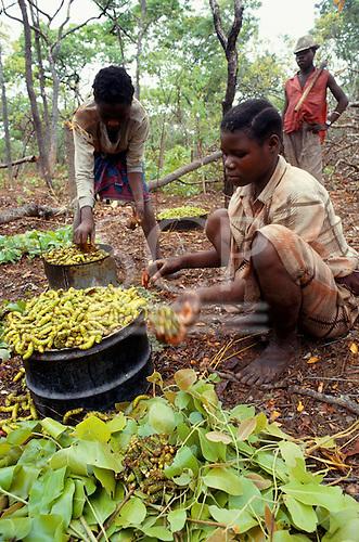 Kopa, Zambia. People collecting Mopani catepillers - food delicacy.