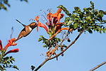 San Diego, California; an Allen's hummingbird feeding on the nectar in the orange flowers of a Mexican Honeysuckle plant, in late afternoon light