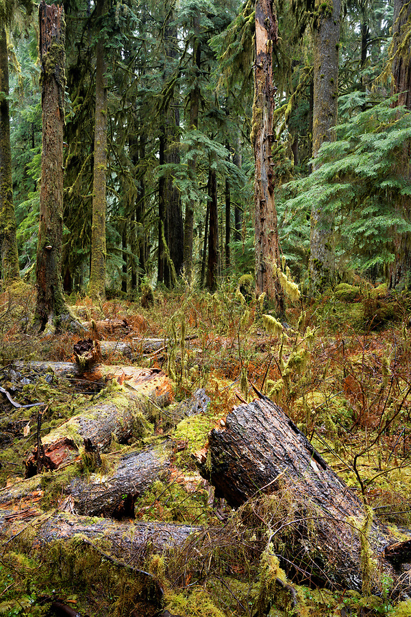 Fallen and broken hemlock tree, East Fork Quinault River Trail, Olympic National Park, Washington, USA