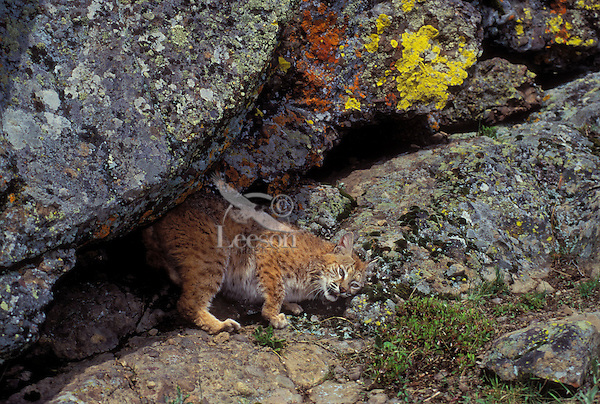 BOBCAT is found only in North America. Scent marking in the sub-alpine here defines territory. (Felis rufus).