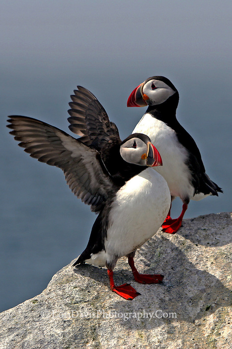Two Atlantic Puffins, Wing Detail  #P17