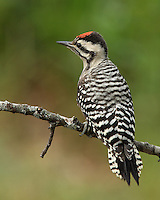 """""""Cactus Woodpecker"""" is an old name for a subspecies of the Ladder-backed Woodpecker inhabiting the southwestern United States. """"Cactus"""" is an appropriate word to associate with this species, as it frequently forages on and nests in various species of cactus."""