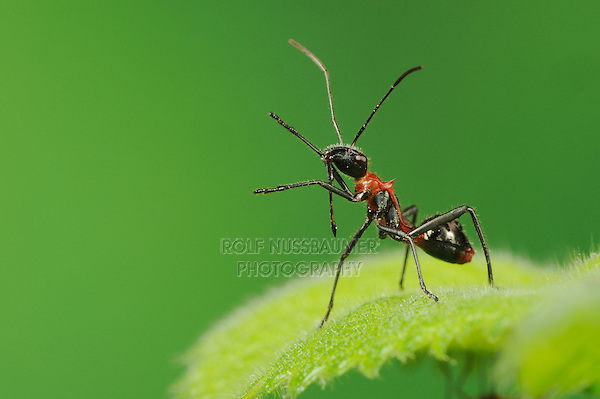 Broad-headed Bug (Hyalymenus tarsatus), Nymph on leaf, ant mimicry, Comal County, Hill Country, Central Texas, USA