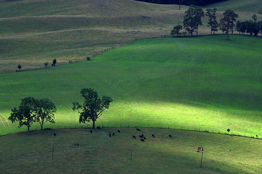 Farm cows grazing in Madison County, VA. Photo/ Andrew Shurtleff