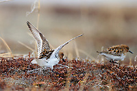 A male Spoon-billed Sandpiper pursues a female in a pre-copulatory display. Males raise their wings and give a variety of vocalizations prior to attempting to copulate. There is usually a short chase and the female often avoids the advances. Chukotka, Russia. June.