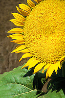 close up mature sunflower plants Williams California