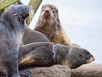 Northern fur seal, Callorhinus ursinus, female entangled in rubber ring, St Paul Island, Alaska