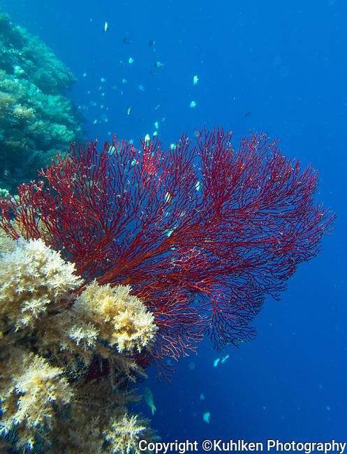 Sea fan, Palau 2018