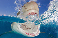 Lemon shark, Negaprion brevirostris, split view, close up of wide open mouth and teeth, Bahamas, Caribbean Sea, Atlantic Ocean