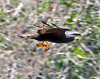 Zone-tailed hawk flying to nest with small bird kill