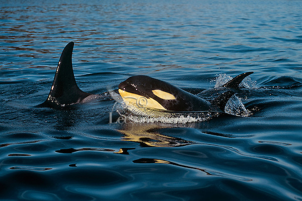 Orca Whale or killer whale (Orcinus orca) baby surfacing near its mother.