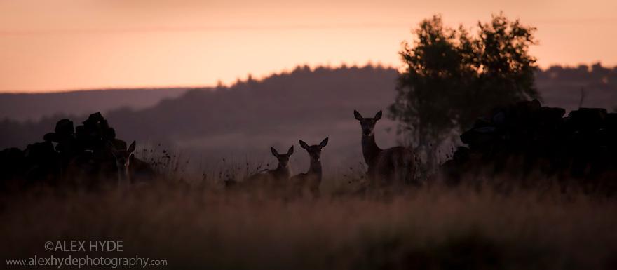 Red deer on Froggatt Edge, before sunrise. Peak District National Park, Derbyshire, July.