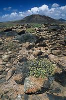 Europe/Espagne/Iles Canaries/Lanzarote : Paysage volcanique de la Geria