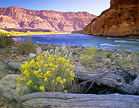 Rabittbrush and Colorado River. Near Lee's Ferry. Arizona