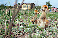 Red-Crowned Crane chicks, a threatened species at the Zhalong Wetlands, Heilongjiang Province. China. 2011
