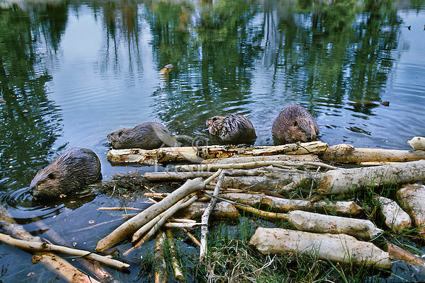 Four beaver (Castor canadensis) at feeding area near their lodge, Wyoming, spring.