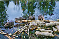 Four beaver (Castor canadensis) at feeding area near their lodge, Wyoming, spring.