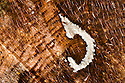 Underside wing detail of Comma butterfly {Polygonia c-album} showing the white comma-shaped mark from which it gets its name.  UK