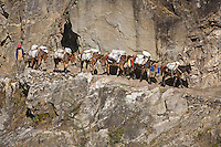 Sure footed MULES are used to transport goods on the narrow trails of the ANNAPURNA CIRCUIT near Manang - NEPAL HIMALAYA