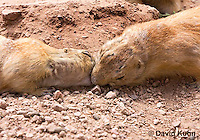 0721-1101  Black-tailed Prairie Dogs Greeting Each Other by Kissing, Cynomys ludovicianus  © David Kuhn/Dwight Kuhn Photography