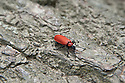 Cardinal beetle (Pyrochroa coccinea), late May.