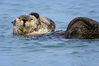 A sea otter (Enhydra lutris nereis) is grooming and watching, Moss Landing in the Monterey Bay National Marine Sanctuary.